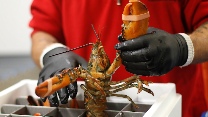 China Deal Might Not Bail Out Lobster Industry This Year Food Manufacturing